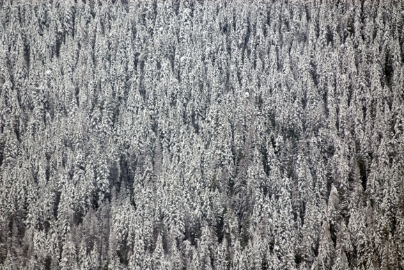 snow-falling-on-pine-trees